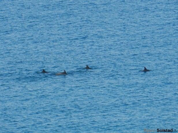 delfiner som svomte forbi1 617x463 Album